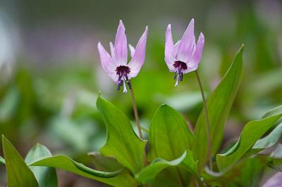 春山の花-6993