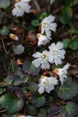 春山の花-05037