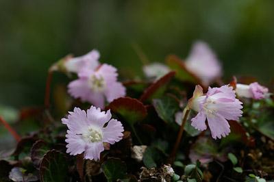 春山の花-4